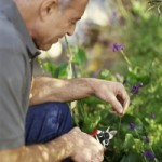 Garden therapy could bear fruit for dementia care
