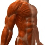 How Does Muscle Behave And How Can You Benefit From It?