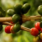 How to lose weight with a green coffee bean diet