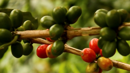 green coffe beans