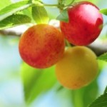 Could You Fight Ageing with an Australian Bush Plum?